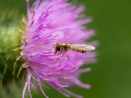 syrphidae: Extreme closeup of a hoverfly resting on a wild pink thistle