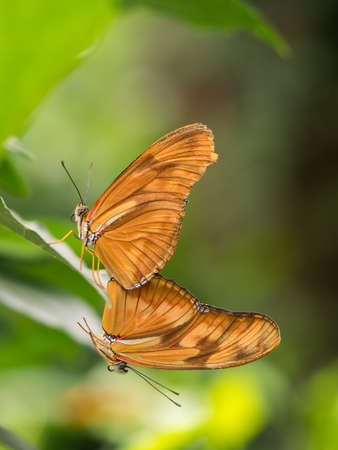 facing away: Pair of large orange, brown butterflies facing away from eachoter