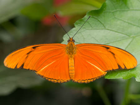 wingspan: Large orange tropical butterfly showing full wingspan on a fresh leaf Stock Photo
