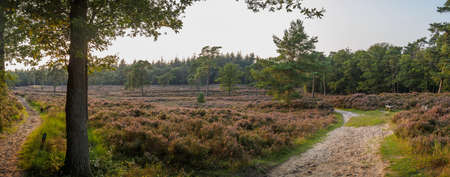 heathland: Low hanging sun shines over a wide panoramic view of a blooming Dutch heathland