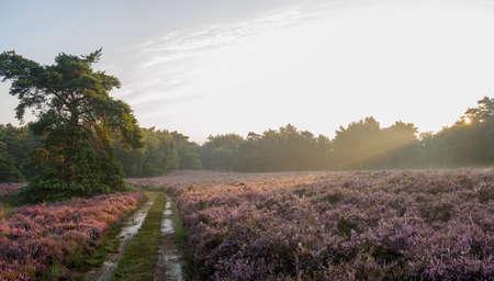 heathland: Panoramic sunrise over purple Dutch heathland in full bloom Stock Photo