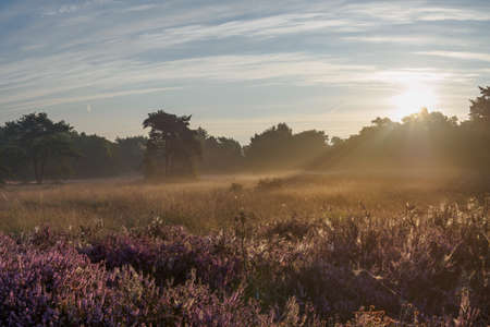 heathland: Peaceful and hazy sunrise over a Dutch heathland in full bloom
