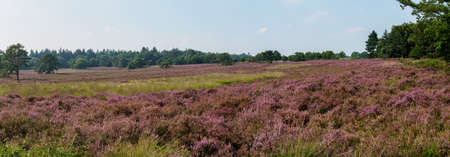 heathland: Wide panorama of a Dutch heathland area in full bloom