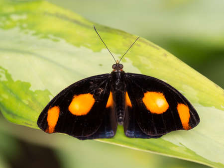 wingspan: Black and orange spotted tropical butterfly showing full wingspan on a bright green leaf