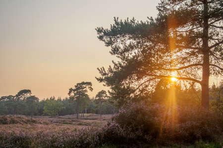 heathland: Golden sunset as sun flares through tree branches over blooming heathland