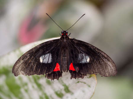 wingspan: Black and red Doris butterfly on a leaf in wingspan view Stock Photo