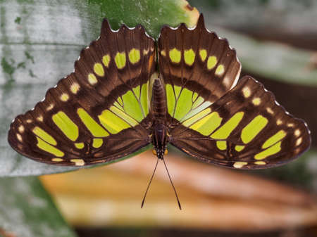 wingspan: Wingspan view of the malachite butterfly