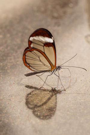 Verticale van Greta oto, glas vleugel vlinder met reflectie op marmer Stockfoto