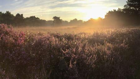 heathland: Bright sunrise over blooming purple heathland area