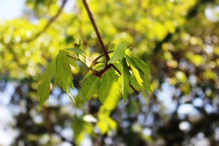 foglia: Climbing plant leaves Stock Photo