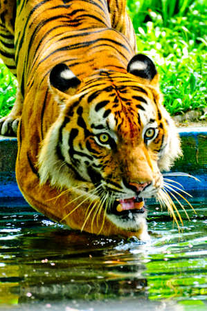 Tiger Walk into Water