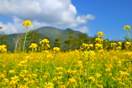 as one: Yellow Rape flowers as one kinds of economic crops in Ruisui Pasture,Hualien county,Taiwan  Feb 3, 2009