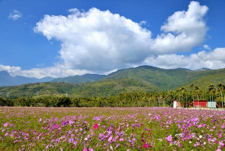 rift: Beautiful cosmos flowers field of East Rift Valley,Hualien county,Taiwan  Feb  3, 2009