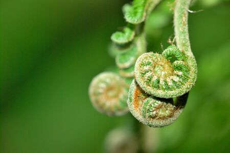 pinnately: Green new buds of Taiwan grass ferns in the park Stock Photo
