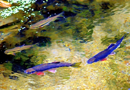 19's: Two pairs of pretty Taiwan s conservation class  Opsariichthys  fishes  Zacco barbatus  swimming in the stream with clear water  Ilan,Taiwan   June 19, 2008  Stock Photo