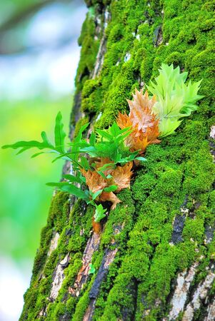 A newborn staghorn fern blooming on the old tree bark together with green moss  Taipei,Taiwan   May 4th, 25008  Stock Photo - 15842132