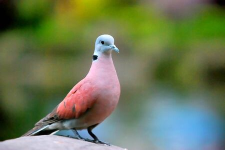 turtle dove: One Red Turtle Dove is standing on the rock and not afraid of my approaching  Taipei,Taiwan   Apr  19, 2008   Stock Photo