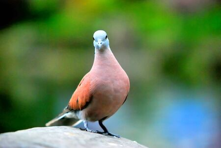 turtle dove: One Red Turtle Dove is standing on the rock  Stock Photo