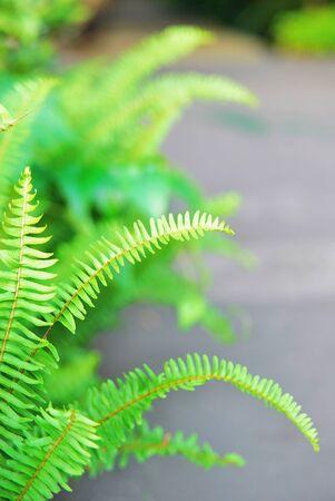 pinnately: Emerald fern