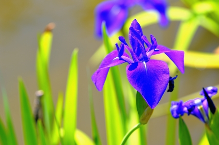 eloquent: A symbol of light and liberty  Irises flower blooming in the park  Taipei,Taiwan   May 6, 2012  Stock Photo