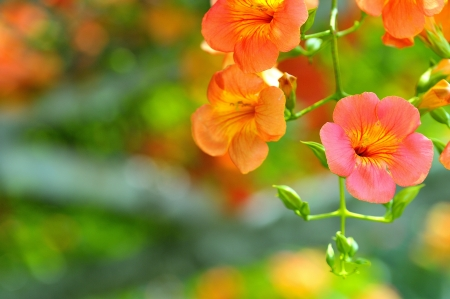 motherly: Chinese trumpet creeper flowers in the botanic park  Taipei,Taiwan   May 13, 2012