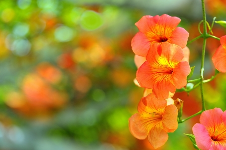 traditional climbing: Chinese trumpet creeper flowers in the botanic park  Taipei,Taiwan   May 13, 2012