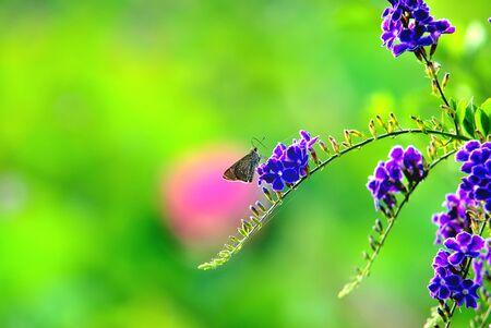 dewdrop: A moth parked on Golden Dewdrop flowers