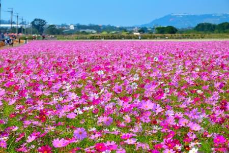 타이 중 현, 대만의 아름다운 코스모스 꽃 필드. (7) 스톡 콘텐츠