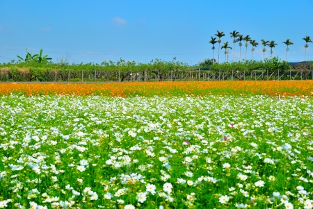 orange county: The beautiful Cosmos flower fields in Taichung County, Taiwan. (2) Stock Photo