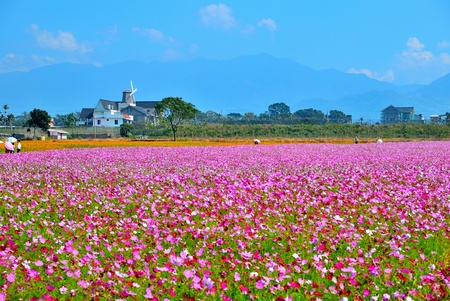 The beautiful Cosmos flower fields in Taichung County, Taiwan. (1) photo