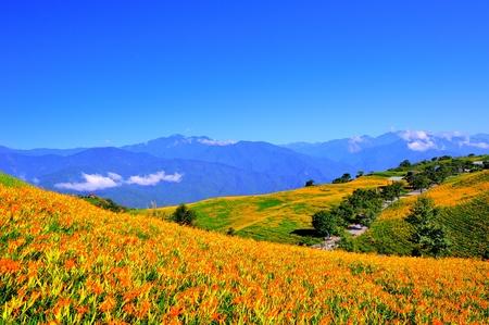 hillside: Hillside of day lily flowers in Chihke Mountain, Hualien county, Taiwan