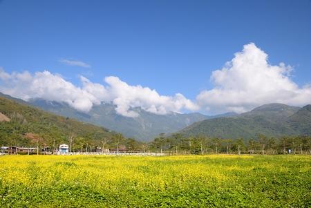 rift: Beautiful yellow rape flowers fields in East Rift Valley of Hualien county,Taiwan  Feb  3, 2009