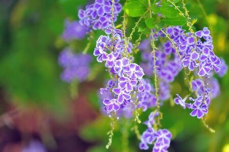 dewdrop: Those Golden Dewdrop flowers in my garden always attractive anything nearby.