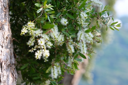 pune: The Cajuput Tree flowrs blooming like thousands of bottle brush hanging on the tree.