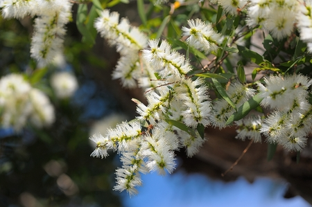 The Cajuput Tree flowrs blooming like thousands of bottle brush hanging on the tree. photo
