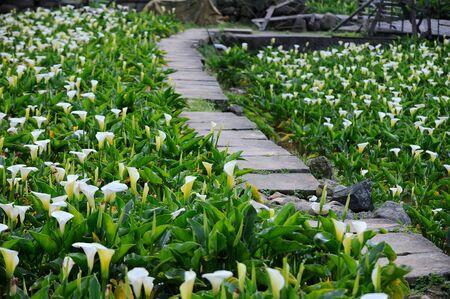calla lily: Calla Lily