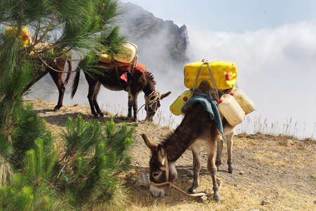 Donkeys carrying water in Cape Verde Stock Photo