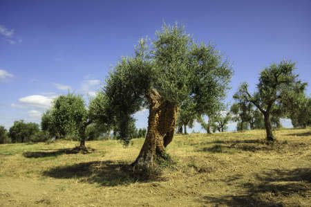 Olive Trees On Rolling Farm Fields In Umbria Italy