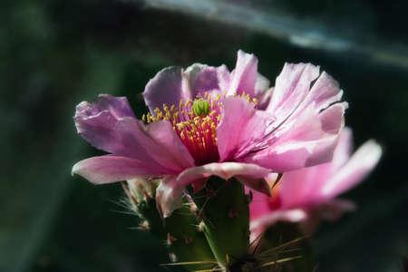 opuntia: Cactus flower, Opuntia