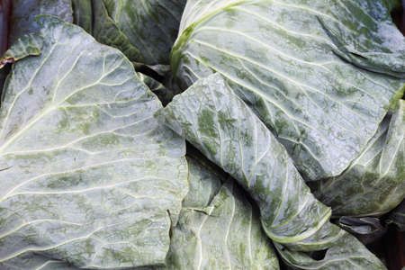Green cabbage, close-up Stock Photo - 5248284