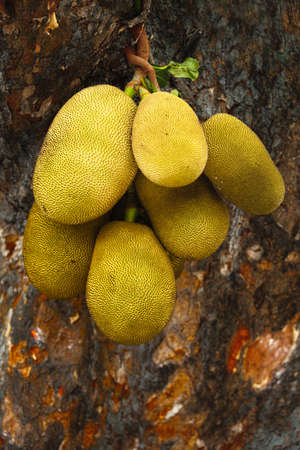 Giant jackfruits Stock Photo - 6767588