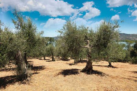 oil tree: Olive field, Isla Maggiore, Umbria, Italy