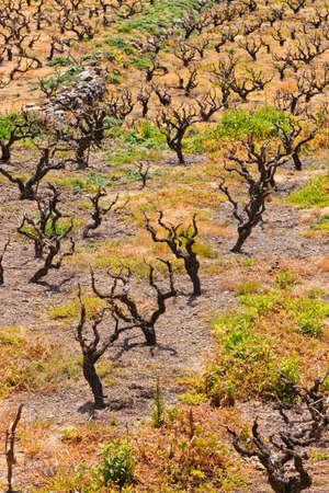 wine stocks: Field of old wine stocks