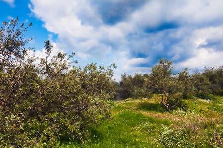 wine stocks: Field of olive trees and wine stocks