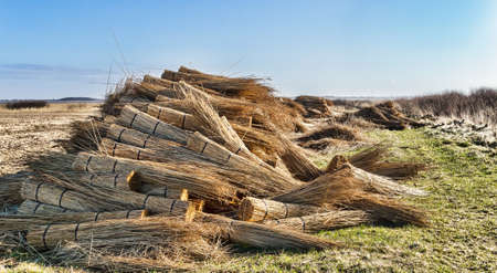 Thatching reed straw for roofing  Freshly harvested