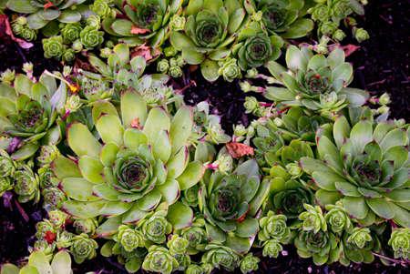 Houseleeks plants bunch of, background Stock Photo - 14331985