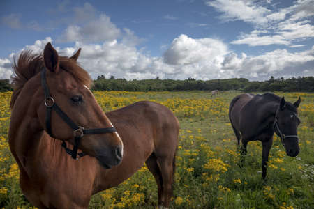 equitation: Horses on a Danish field with yellow flowers