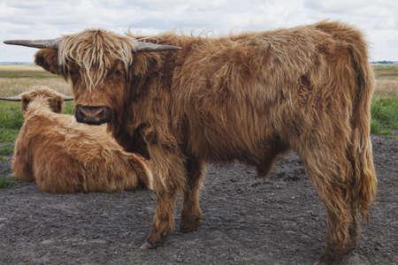 highlander: Juvenil escocés Highland ganados Foto de archivo
