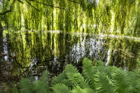 Lake with weeping willows reflected in the water Stock Photo - 14780844
