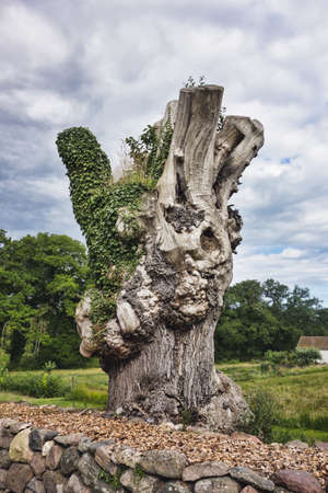 over grown: Tree stump over grown with green leaves